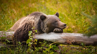 BUS-GLANZ-CAD_Wild Eastern Slopes Grizzly bear taking a rest in a mountain forest in summer Banff National Park Alberta Canada_shutterstock_522134689.jpg