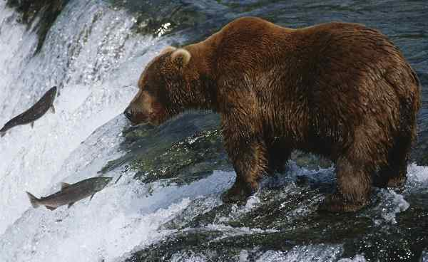 CAD-GREAT-BEAR Canada grizzly bear standing in river looking at salmon shutterstock 212227777