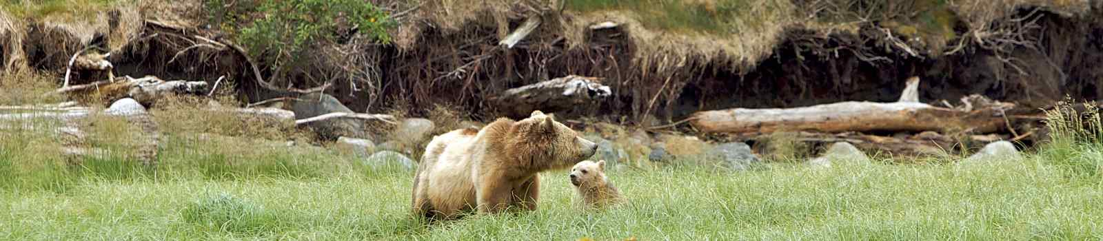 CAD-RM-JTCE Kanada Vancouver Island Grizzly bear in Canadian nature playing with cub