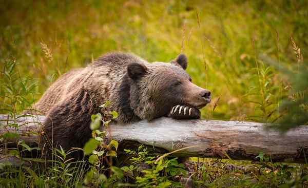 CAD-WEST-TESLA Wild Eastern Slopes Grizzly bear taking a rest in a mountain forest in summer Banff National Park Alberta Canada shutterstock 522134689