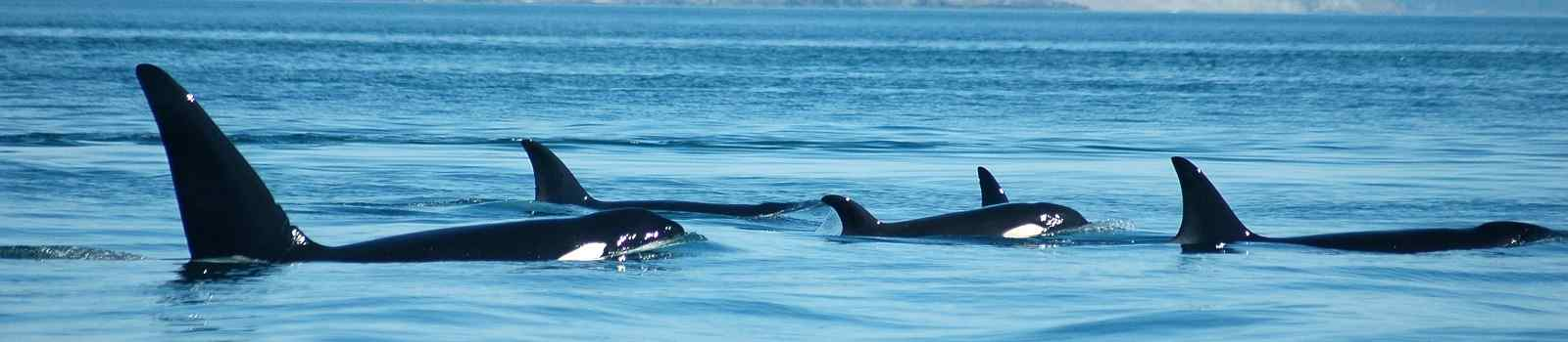 -Kanada Vancouver Island A group of transient (marine mammal feeding) orcas surfaces together, with San Juan Island